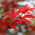 Japanese Maple by Perry Webster