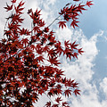 Japanese Maple Red Lace - Vertical Up Right by Georgia Mizuleva