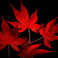 Japanese Maple by Rich Leighton
