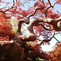 Japanese Maple Tree In Spring by Anita Adams