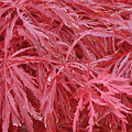 Japanese Maple by Wendy Raatz Photography