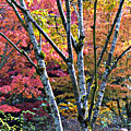 Japanese Maples In Full Color by Vicki Hone Smith