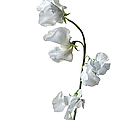Japanese Sweet Pea by Endre Balogh