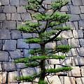 Japanese Tree by Roberto Alamino
