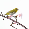 Japanese White Eye by Michael Easley