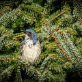 Jay In Tree by Bill Posner