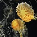Jelly Fish In Flight, Looks A Bit Star Trek Ish  by Anthony Murphy