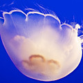 Jelly In Jellyfish Tank In Monterey Aquarium-california by Ruth Hager