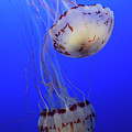 Jellyfish 1 by Bob Christopher