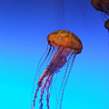 Jellyfish by Robert Meanor