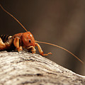 Jerusalem Cricket On Textured Log by Max Allen