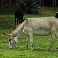Jerusalem Donkey Grazing In A Field by Robert Hamm