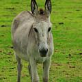 Jerusalem Donkey On A Farm by Robert Hamm