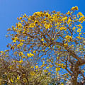 Jerusalem Thorn Tree by Allan  Hughes