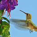 Jeweled Rufous In Afternoon Light by Laura Mountainspring