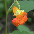 Jewelweed by Larry Bishop