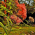 Joe-pye-weed Near Schroon River In New York by Ruth Hager