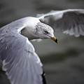 Johnathan Livingston Seagull by John Harmon