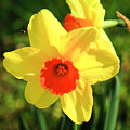 Jonquils by Janine Moore