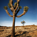 Joshua Tree 2 by Jessica Velasco