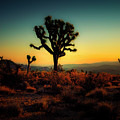 Joshua Tree At Sunrise Series 9190456 by Sandra Selle Rodriguez