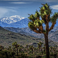 Joshua Tree In Joshua Park National Park With The Little San Bernardino Mountains In The Background by Randall Nyhof
