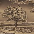 Joshua Tree by Jim Cook