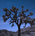 Joshua Tree by Juli Scalzi