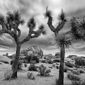 Joshua Tree National Park Black And White Sunrise by Dave Dilli