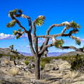 Joshua Tree National Park Winter's Day by Stephen Settles