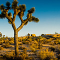Joshua Tree Panoramic by Alex Snay