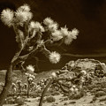 Joshua Trees And Boulders In Infrared Sepia Tone by Randall Nyhof
