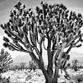 Joshua Trees Bw by William Dey