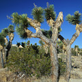 Joshua Trees by Soli Deo Gloria Wilderness And Wildlife Photography