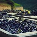 Juicy Grapes Of Autumn. Rotwein Wanderweg by Katarjina Telesh