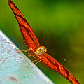 Julia Heliconian Butterfly Spreading Its Wings In Iguazu Falls National Park-brazil  by Ruth Hager