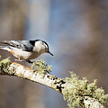 Jump - White-breasted Nuthatch by Christy Cox