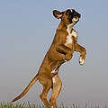 Jumping Boxer Puppy by Jean-Louis Klein & Marie-Luce Hubert