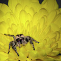Jumping Spider by Emily Bristor