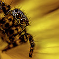 Jumping Spider by Lilia D
