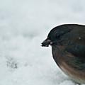 Junco Eating Seed In Snow by Douglas Barnett