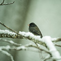 Junco In New Fallen Snow by Douglas Barnett