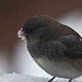Junco In Snow by Douglas Barnett