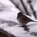 Junco by Tracey Vivar