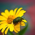 June Beetle by Douglas Barnett