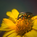 June Beetle Exploring by Douglas Barnett