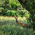 June Doe In Tall Grass by M Dale