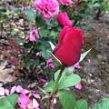 June Rose #2 by Jordan Butterfield
