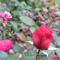 June Rose #4 by Jordan Butterfield