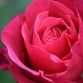 June Rose #8 by Jordan Butterfield